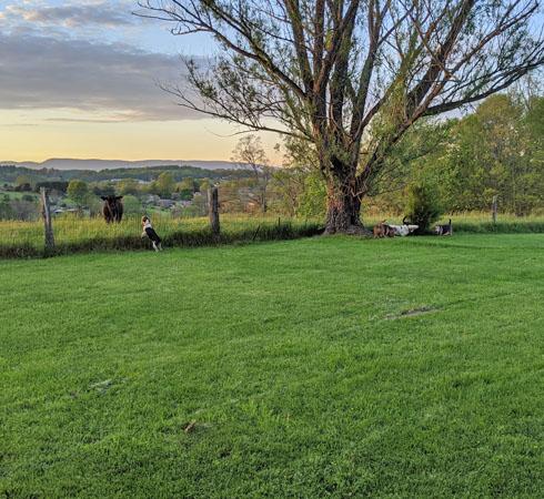 home-loni yard cow pasture